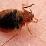 bed-bug-control-pest-control-uae