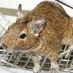 rat-control-pest-control-uae